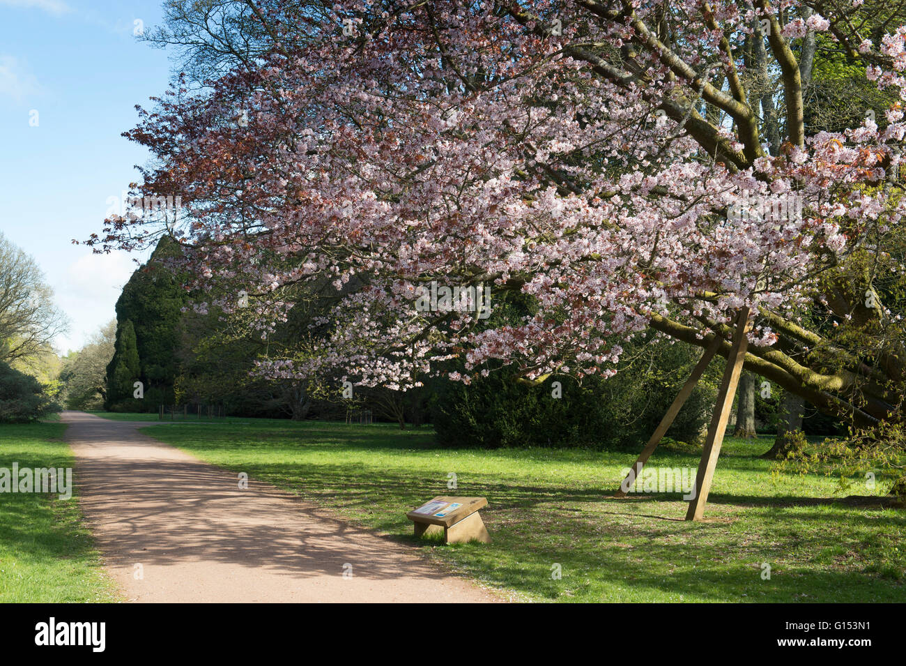 Prunus Sargentii. Sargents cherry tree in blossom at Westonbirt Arboretum. Gloucestershire, England Stock Photo