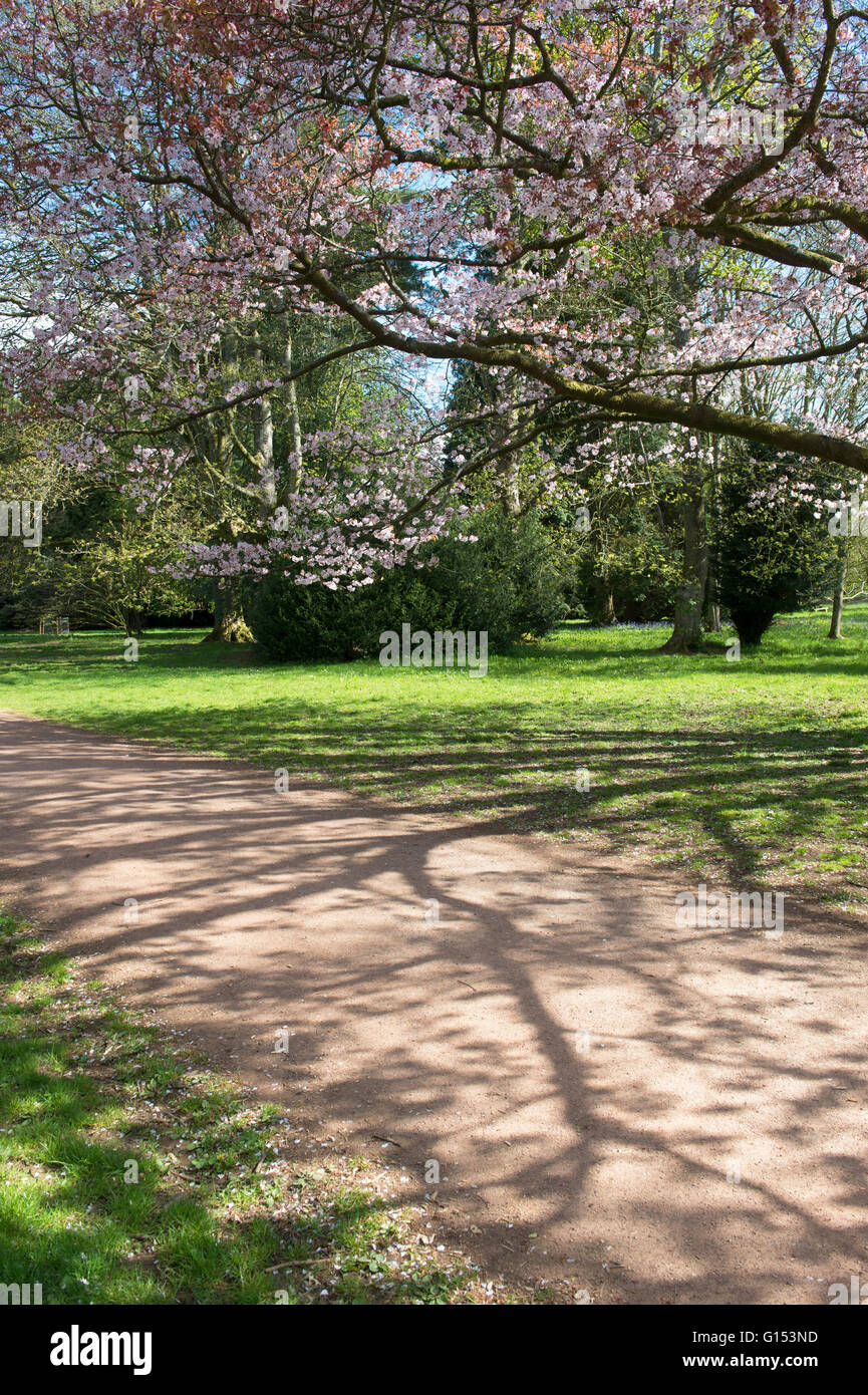 Prunus Sargentii. Sargents cherry tree blossom at Westonbirt Arboretum. Gloucestershire, England Stock Photo