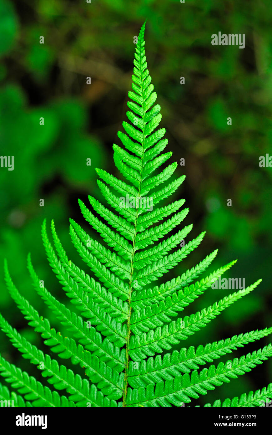 FERN LEAF - Stock Image
