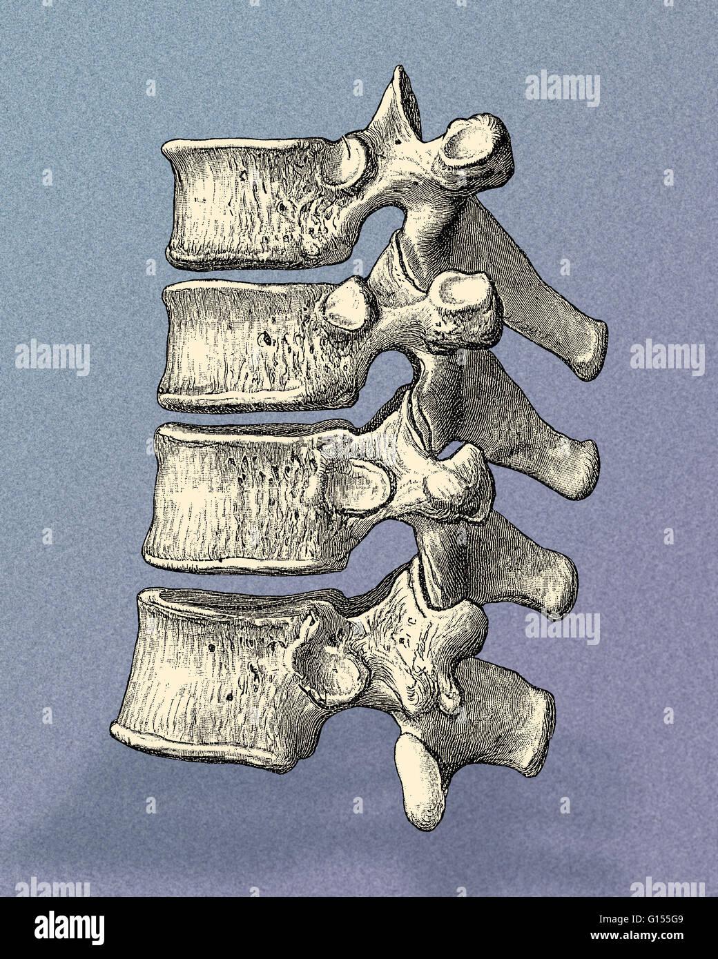 Sagittal view of healthy human vertebrae. Four vertebrae are seen ...