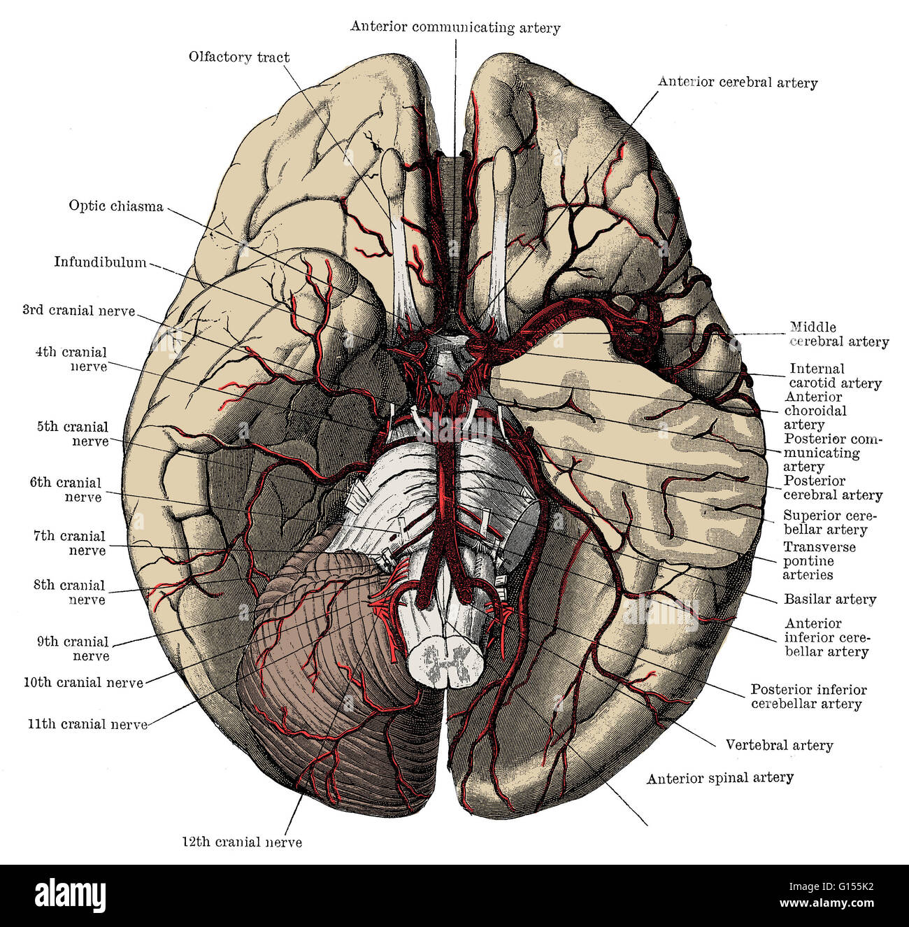 Arteries Of The Base Of The Brain Including The Circle Of Willis