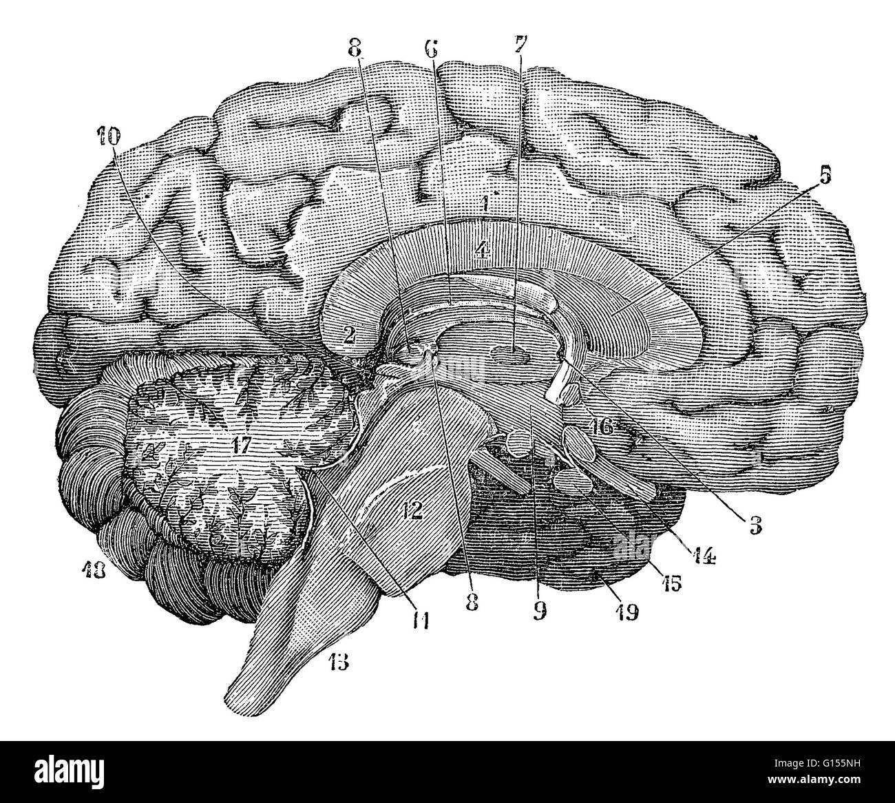Illustration of a cross-section of the brain showing parts such as the cerebrum, cerebellum, corpus callosum, medulla - Stock Image
