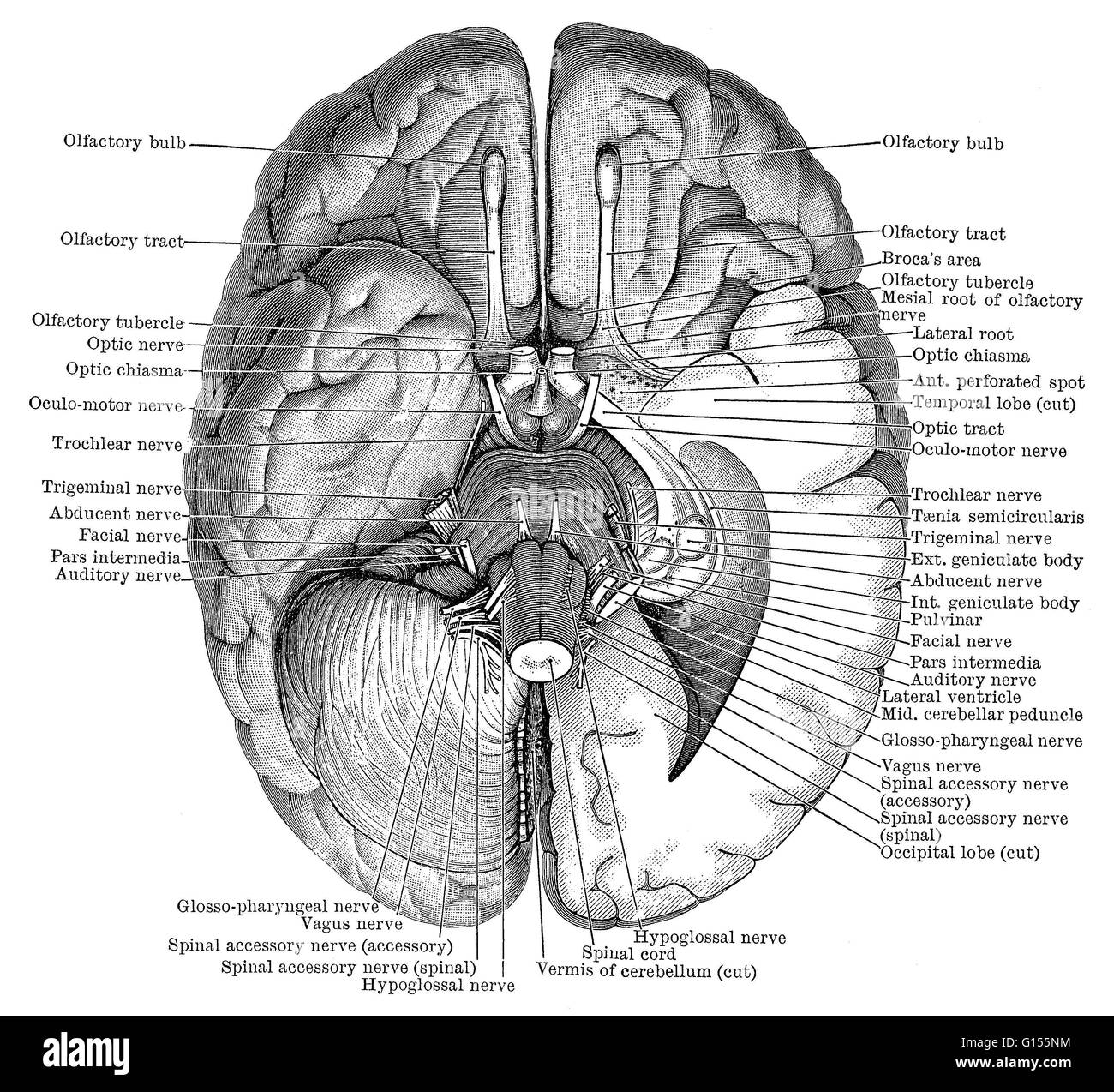 Illustration of the undersurface of the brain showing the nerves ...