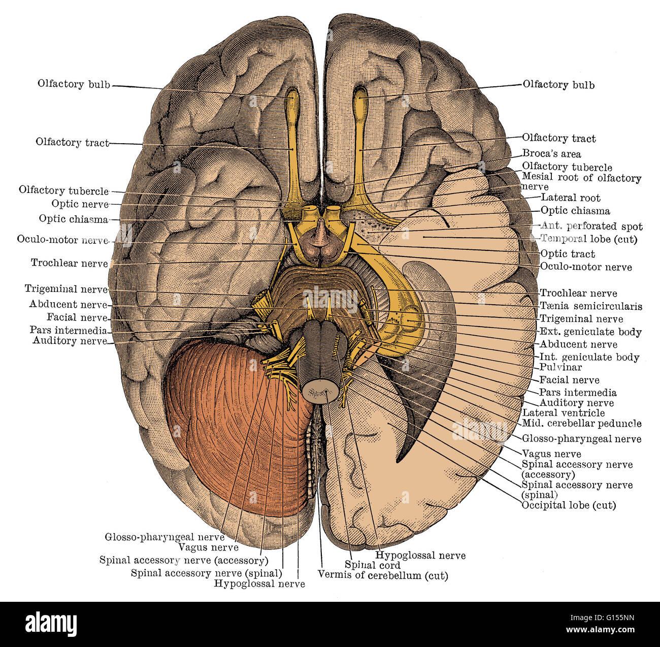 Vagus Nerve Stock Photos & Vagus Nerve Stock Images - Alamy