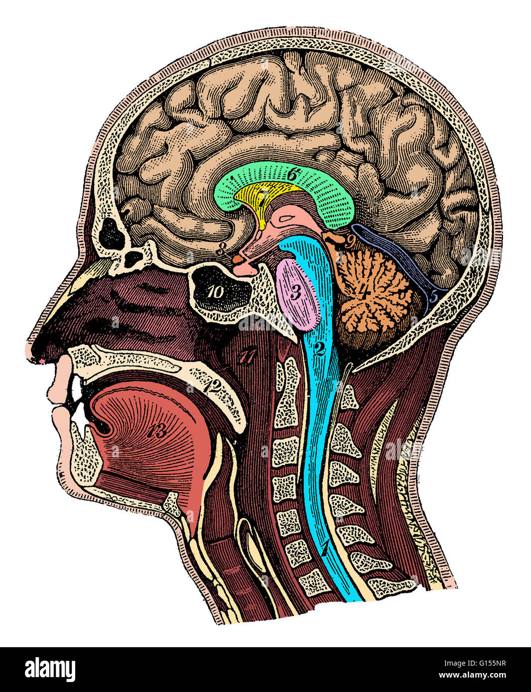 Color enhanced illustration of a cross-section of the head showing ...