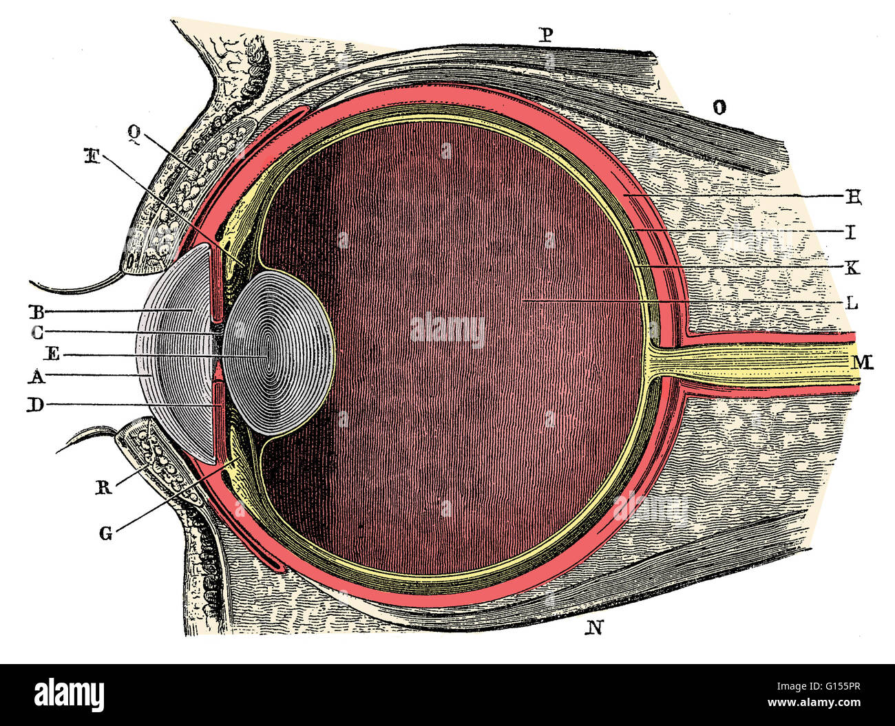 Anatomy of the Human Eye. Cornea (A), aqueous humor (B), iris (C ...