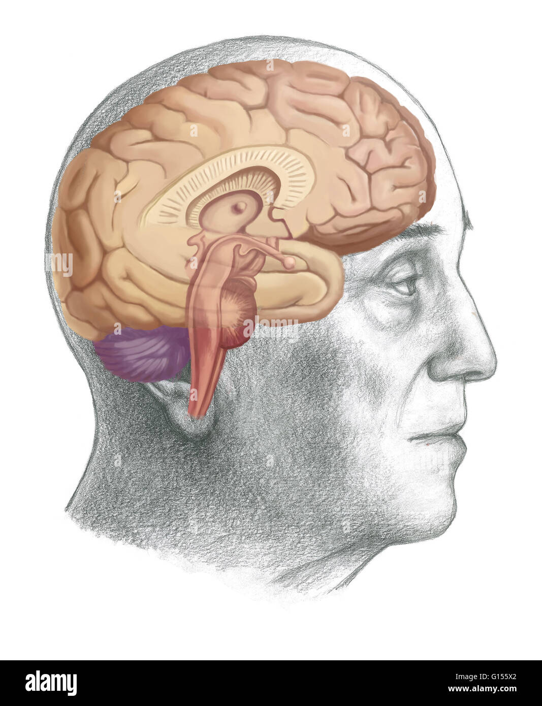 Illustration of a cross-section of the brain showing parts such as ...