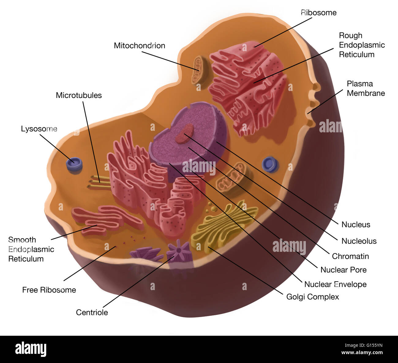 Illustration of animal cell the cell has a nucleus in its center illustration of animal cell the cell has a nucleus in its center that contains chromatin constituted of dna and nucleole composed of rna and proteins ccuart Gallery
