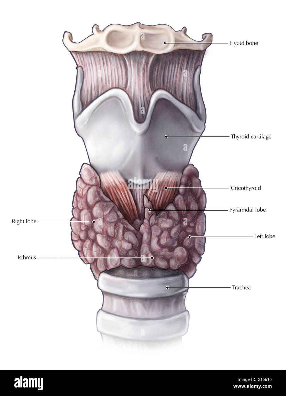 An illustrated anterior view of the thyroid gland and nearby Stock ...