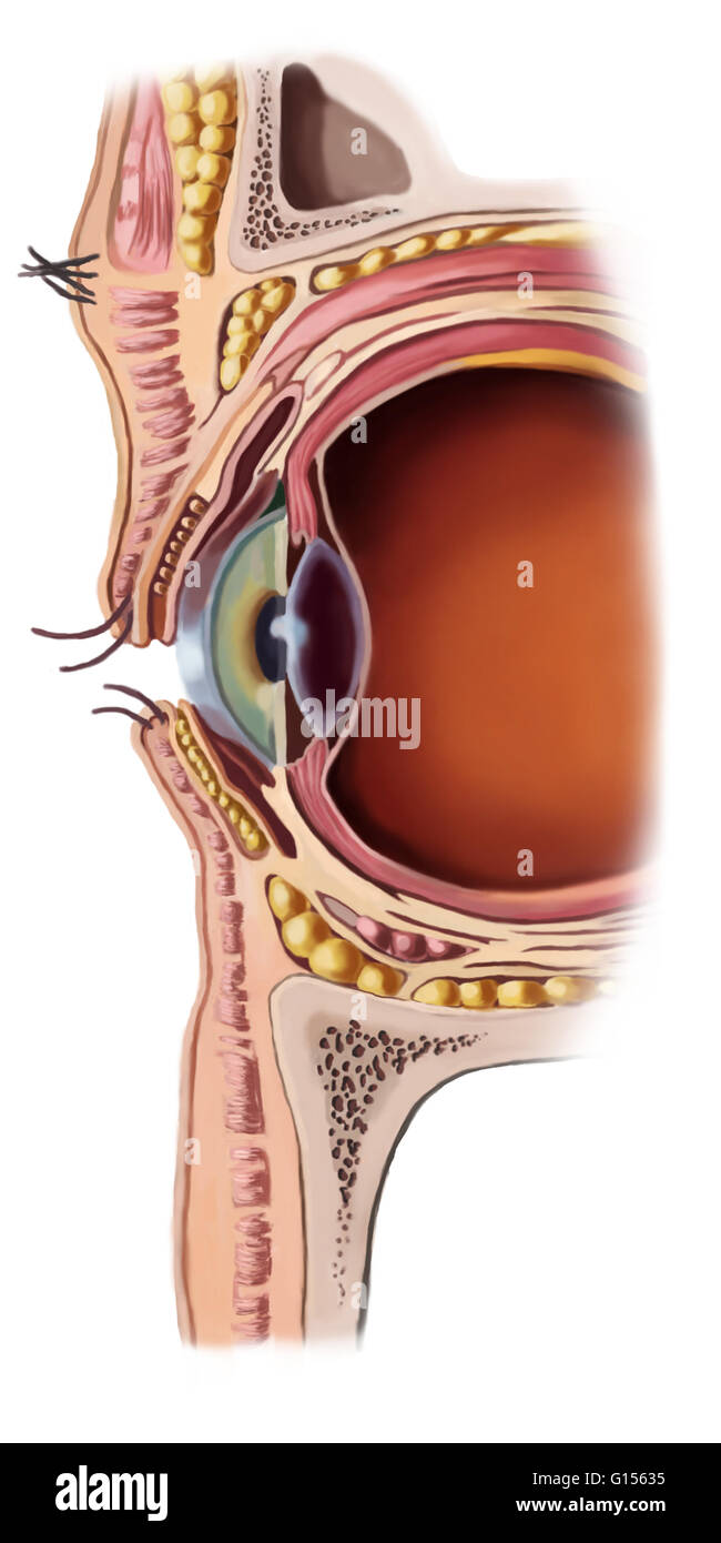 Illustration of the structure of a human eye. Parts of the eye shown ...