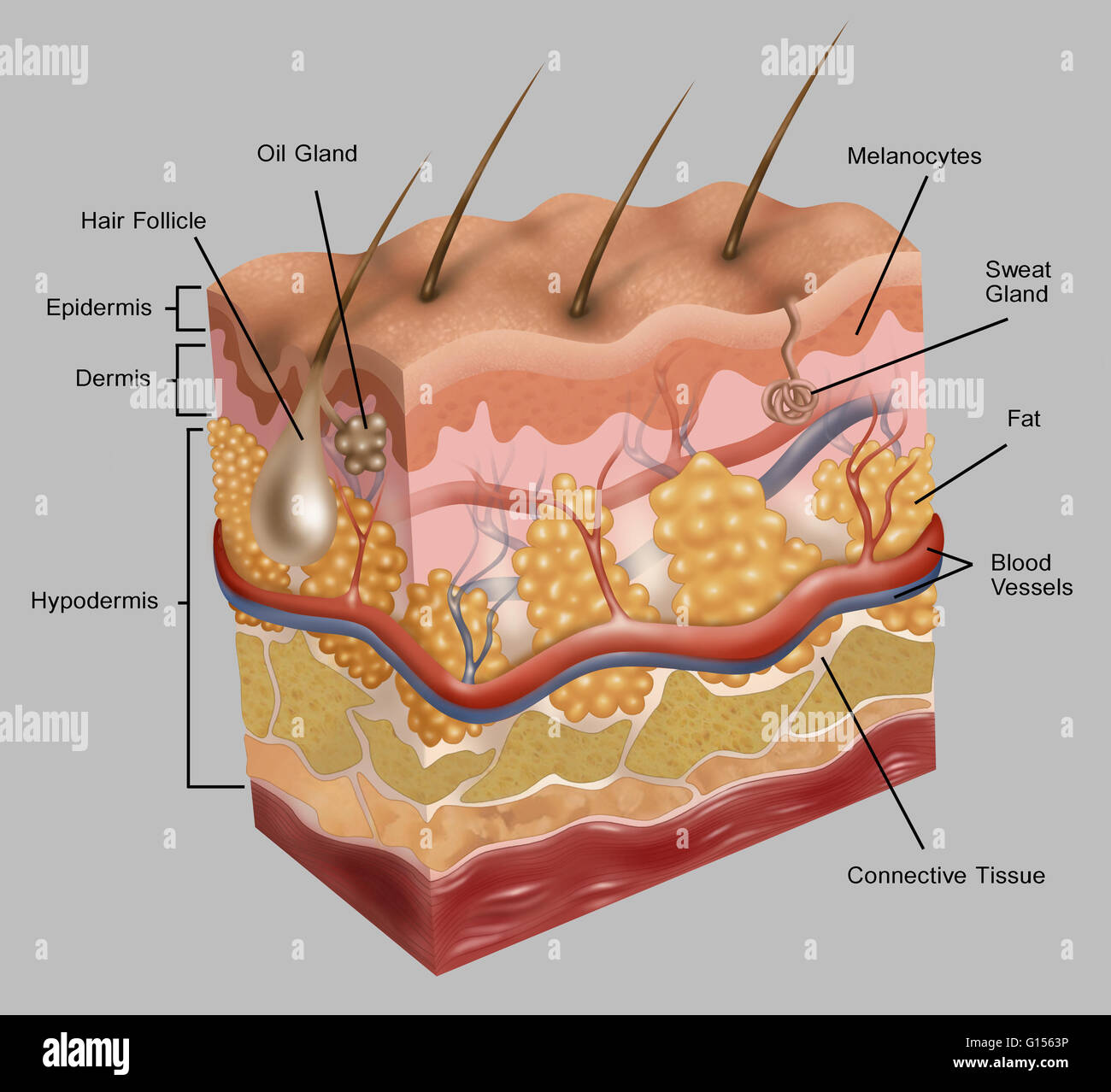 Illustration Of Human Skin This Illustration Depicts A Stock Photo