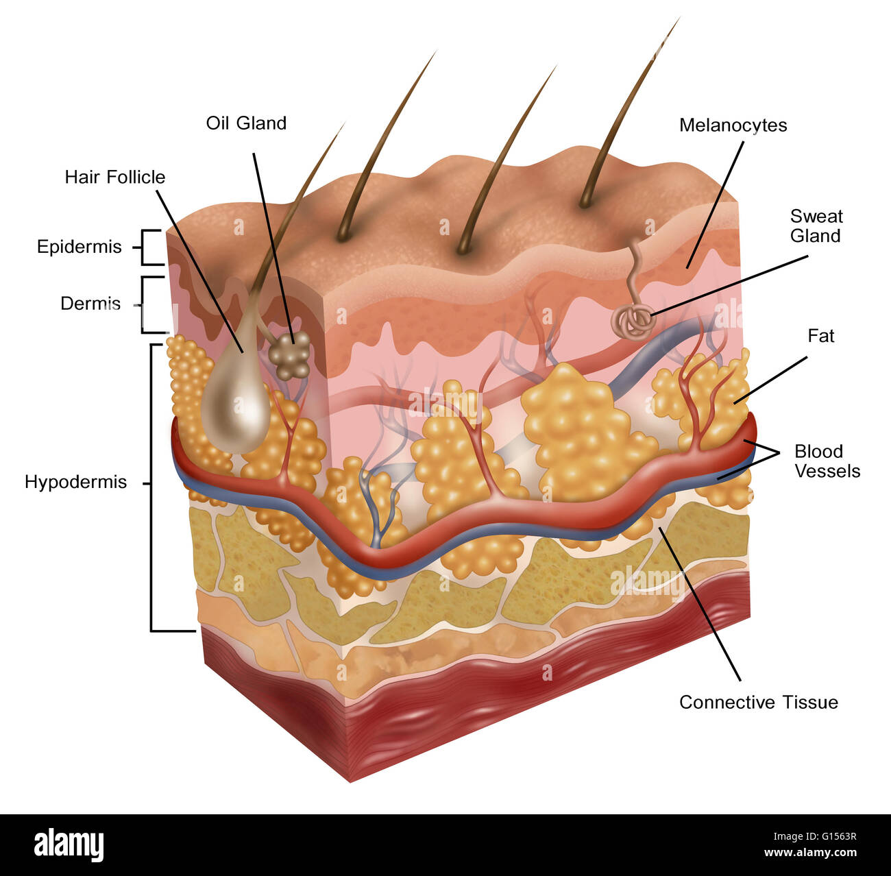 illustration of human skin  this illustration depicts a cross-section,  revealing the layers