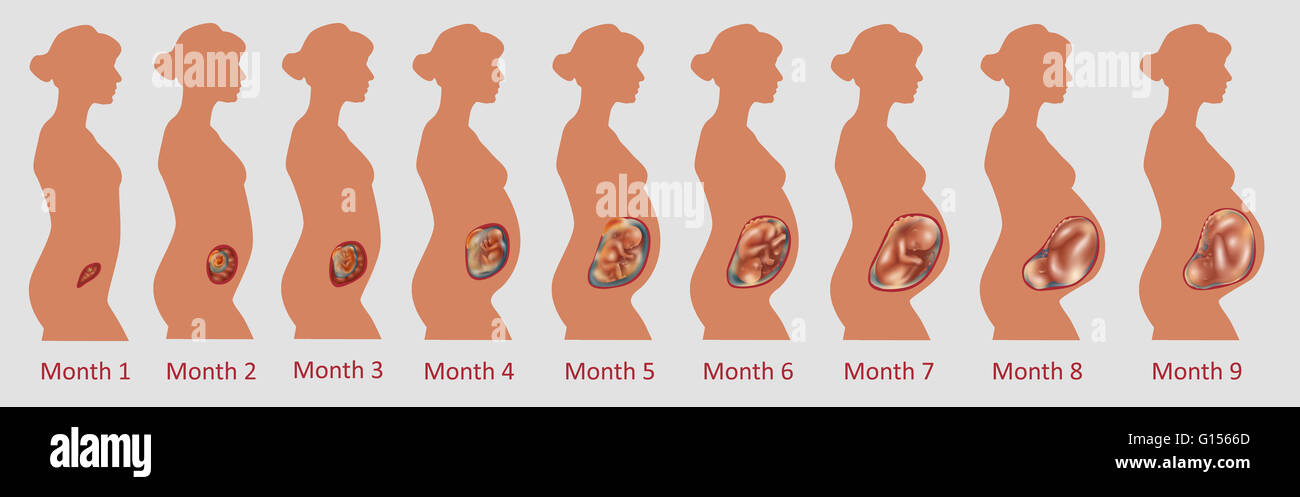 Fetal development over nine months. - Stock Image