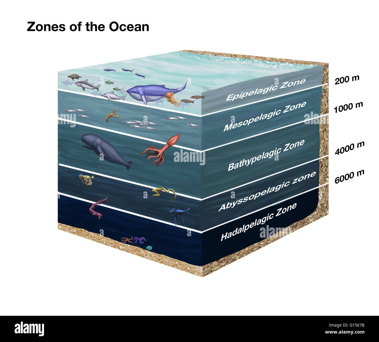 cross sectional diagram showing zones of the ocean from top to layers of the ocean cross sectional diagram showing zones of the ocean from top to bottom epipelagic, mesopelagic, bathypelagic, abyssopelagic, and hadalpelagic
