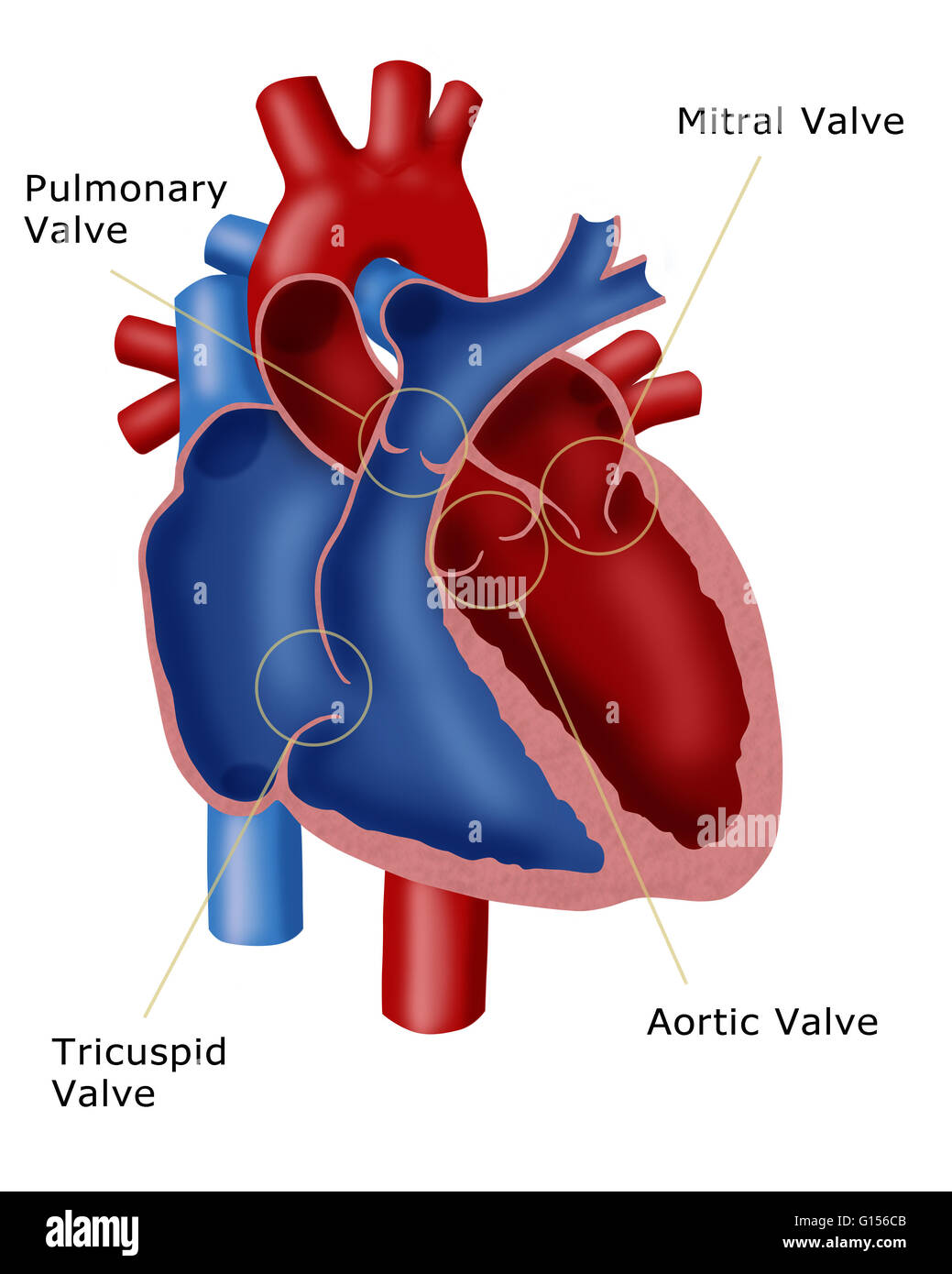 Illustration of a heart showing the four valves pulmonary valve illustration of a heart showing the four valves pulmonary valve mitral valve tricuspid valve and the aortic valve ccuart Gallery