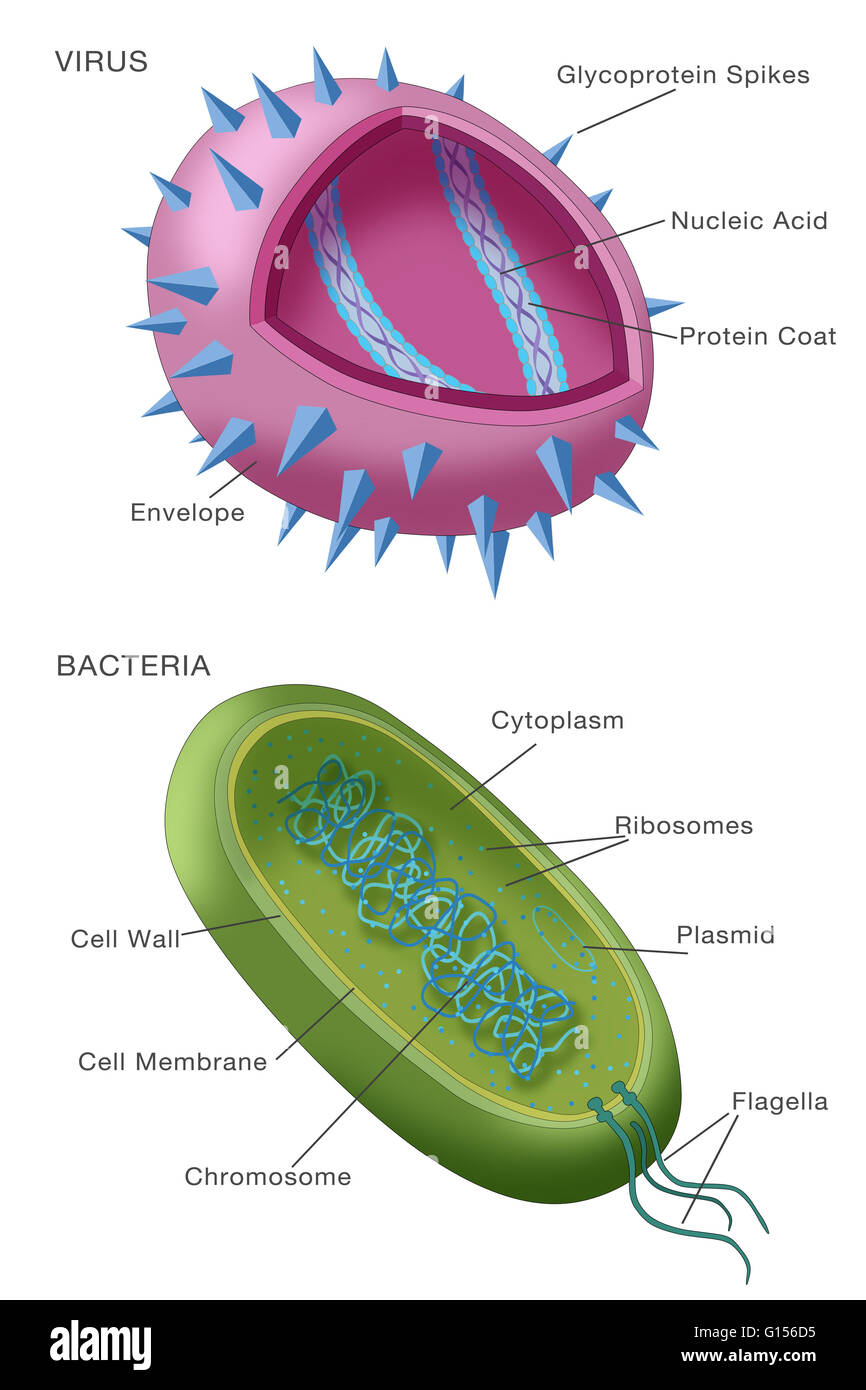 diagram showing typical examples of a virus particle above and a bacterium G156D5 diagram showing typical examples of a virus particle (above) and a