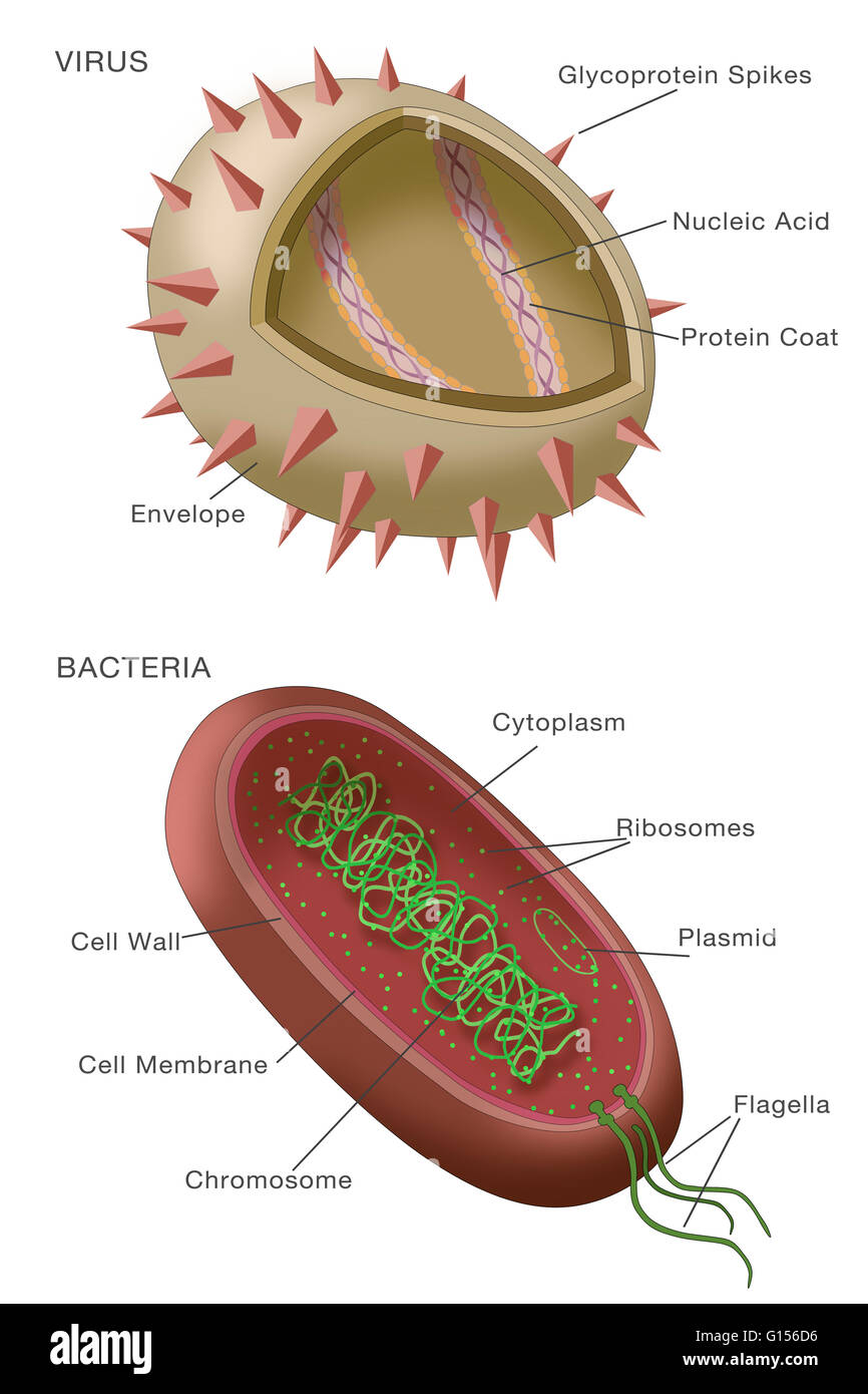 Diagram of bacteria vs virus diy wiring diagrams diagram showing typical examples of a virus particle above and a rh alamy com bacteria vs virus venn diagram bacteria vs virus venn diagram worksheet ccuart Image collections