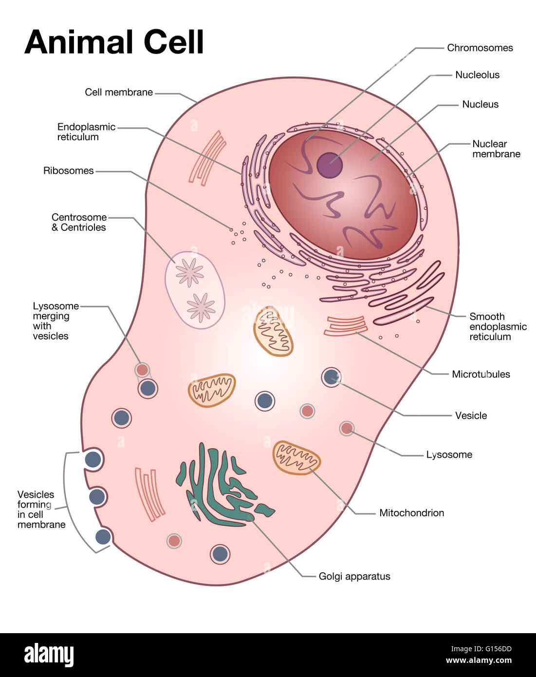 Diagram of a typical animal cell with the important features stock diagram of a typical animal cell with the important features labeled ccuart Images