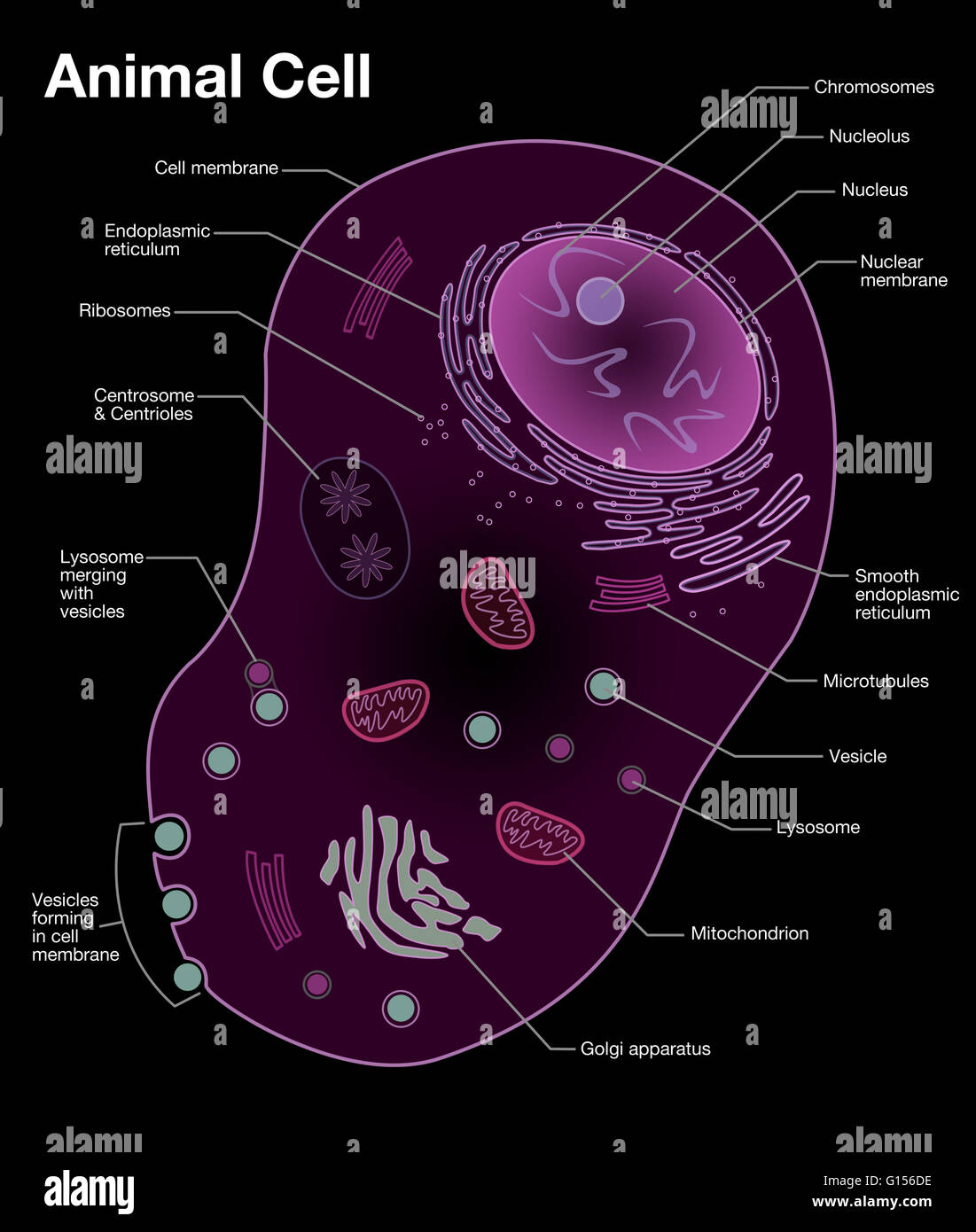 Diagram of a typical animal cell with the important features stock diagram of a typical animal cell with the important features labeled ccuart Gallery