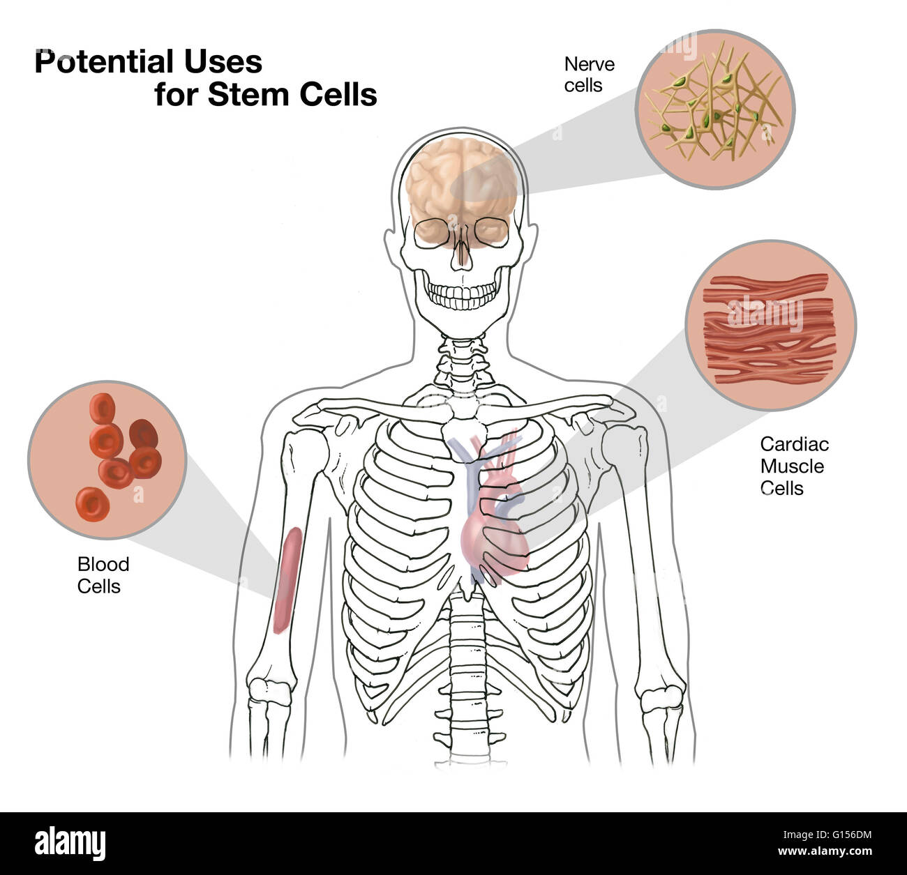 Heart transplant diagram stock photos heart transplant diagram diagram showing the potential uses for stem cells to replace or replenish damaged cells in other ccuart Choice Image