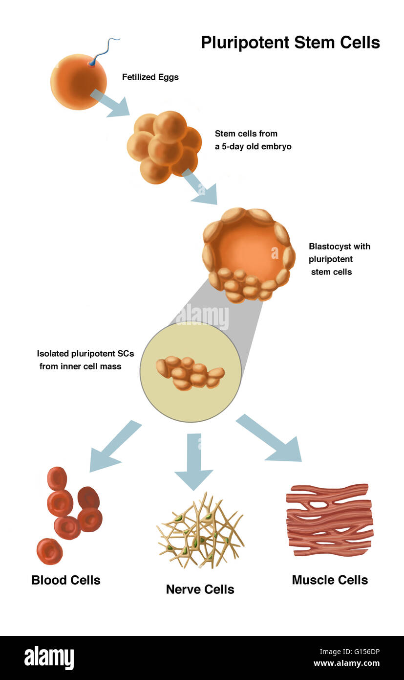 Illustration of potential uses for stem cells  These are stem cells