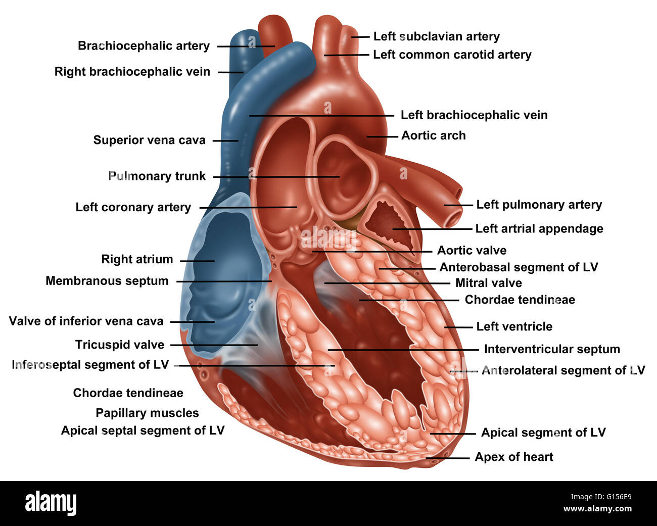 Anatomy Of A Normal Human Heart With Everything Labeled Stock Photo