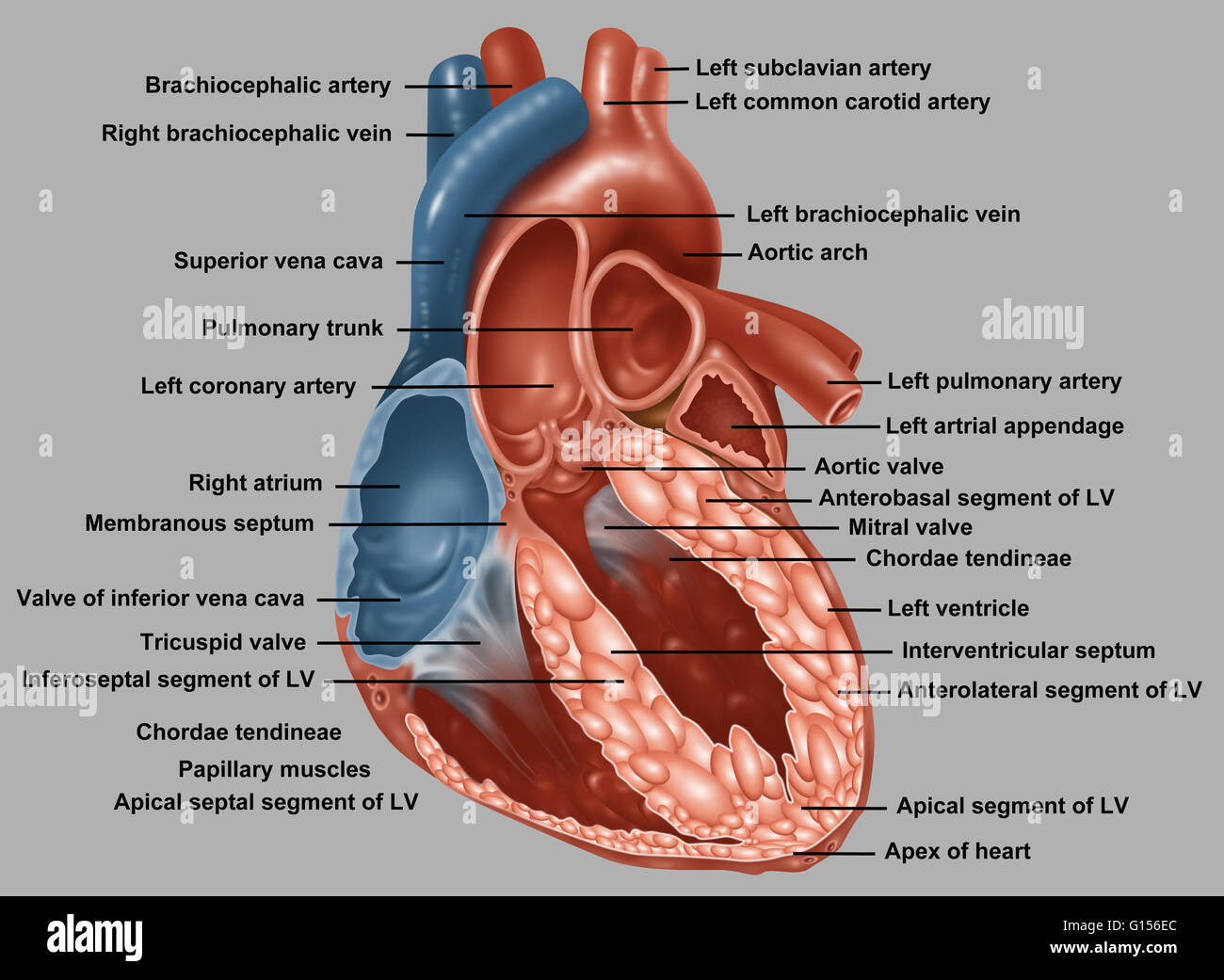 Anatomy of a normal human heart with everything labeled Stock Photo ...