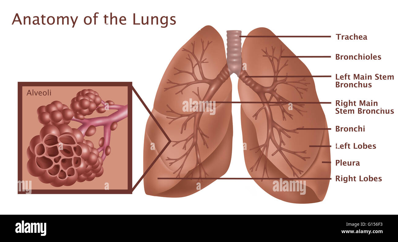Lobes Of The Lung Stock Photos & Lobes Of The Lung Stock Images - Alamy
