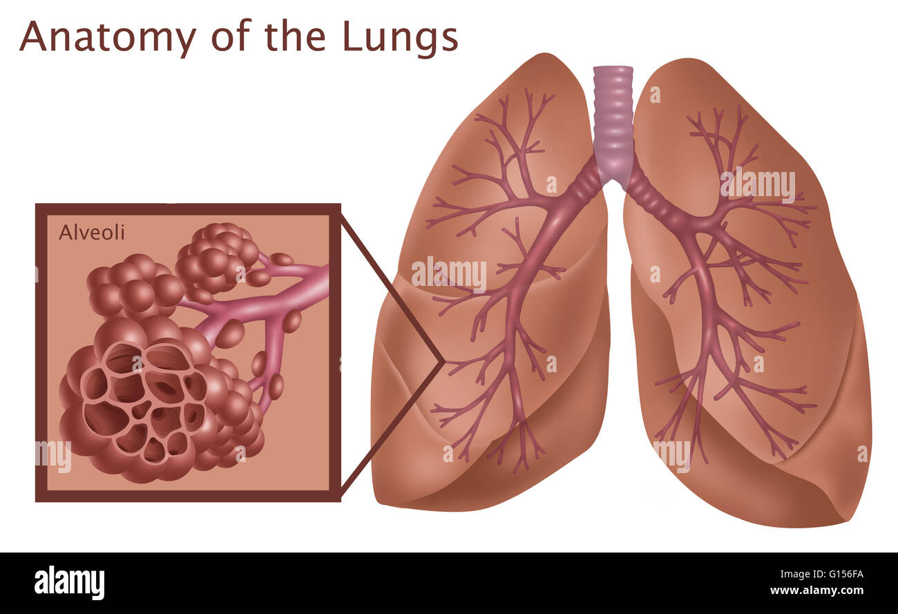 Illustration of the anatomy of the lungs, with a close-up of the ...