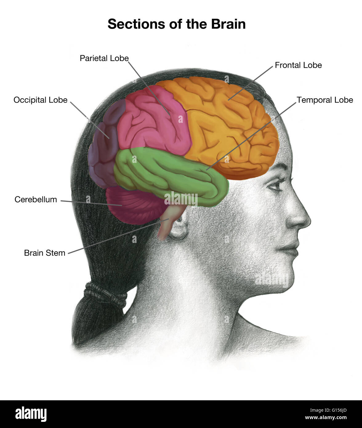 Illustration Of A Womans Head With The Location Of The Brain Stock