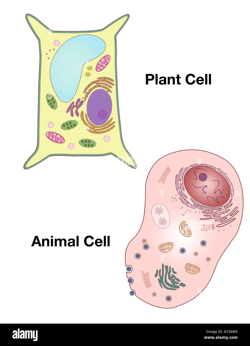 Generalized diagrams of a plant cell and an animal cell stock photo generalized diagrams of a plant cell and an animal cell ccuart Image collections