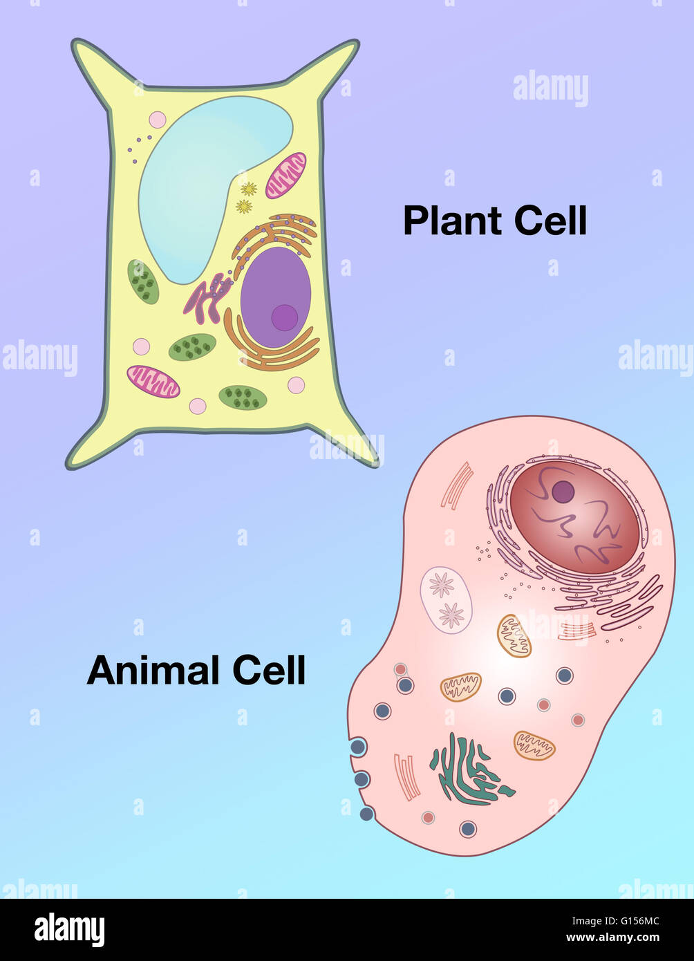 Animal Cell Diagram Stock Photos & Animal Cell Diagram Stock Images ...