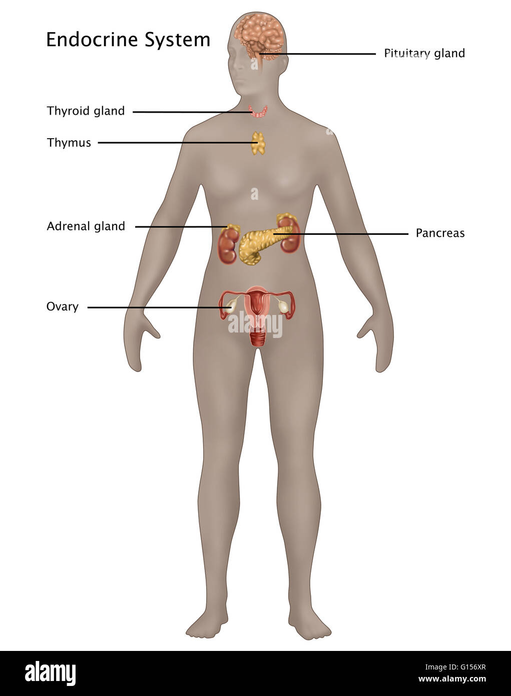 Female Endocrine System Stock Photos Female Endocrine System Stock