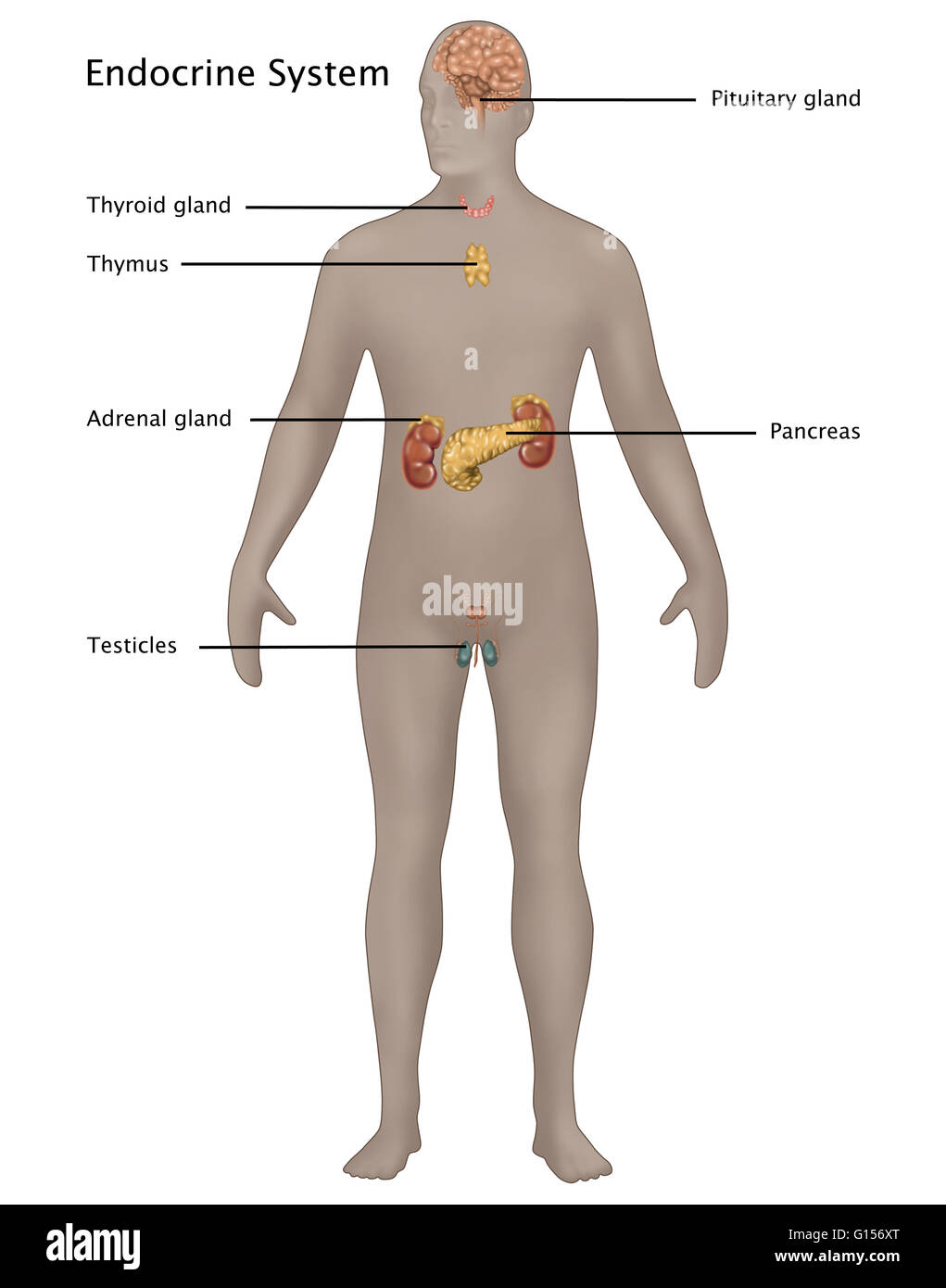 Illustration of the endocrine system in the male anatomy ...