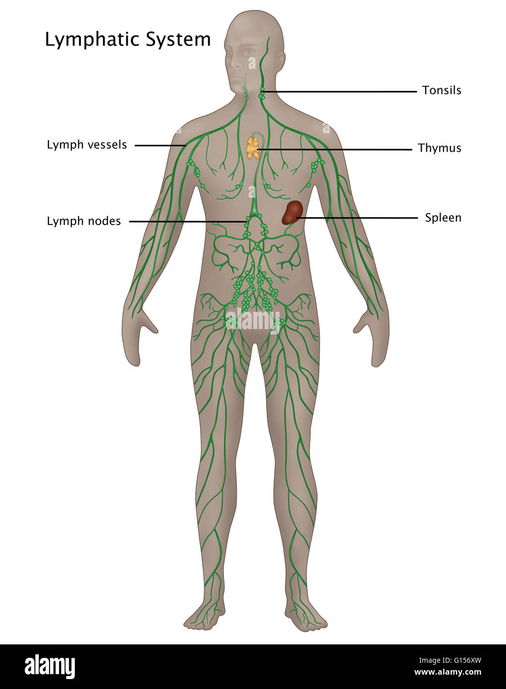 Illustration of the lymphatic system in the male anatomy. Labeled ...