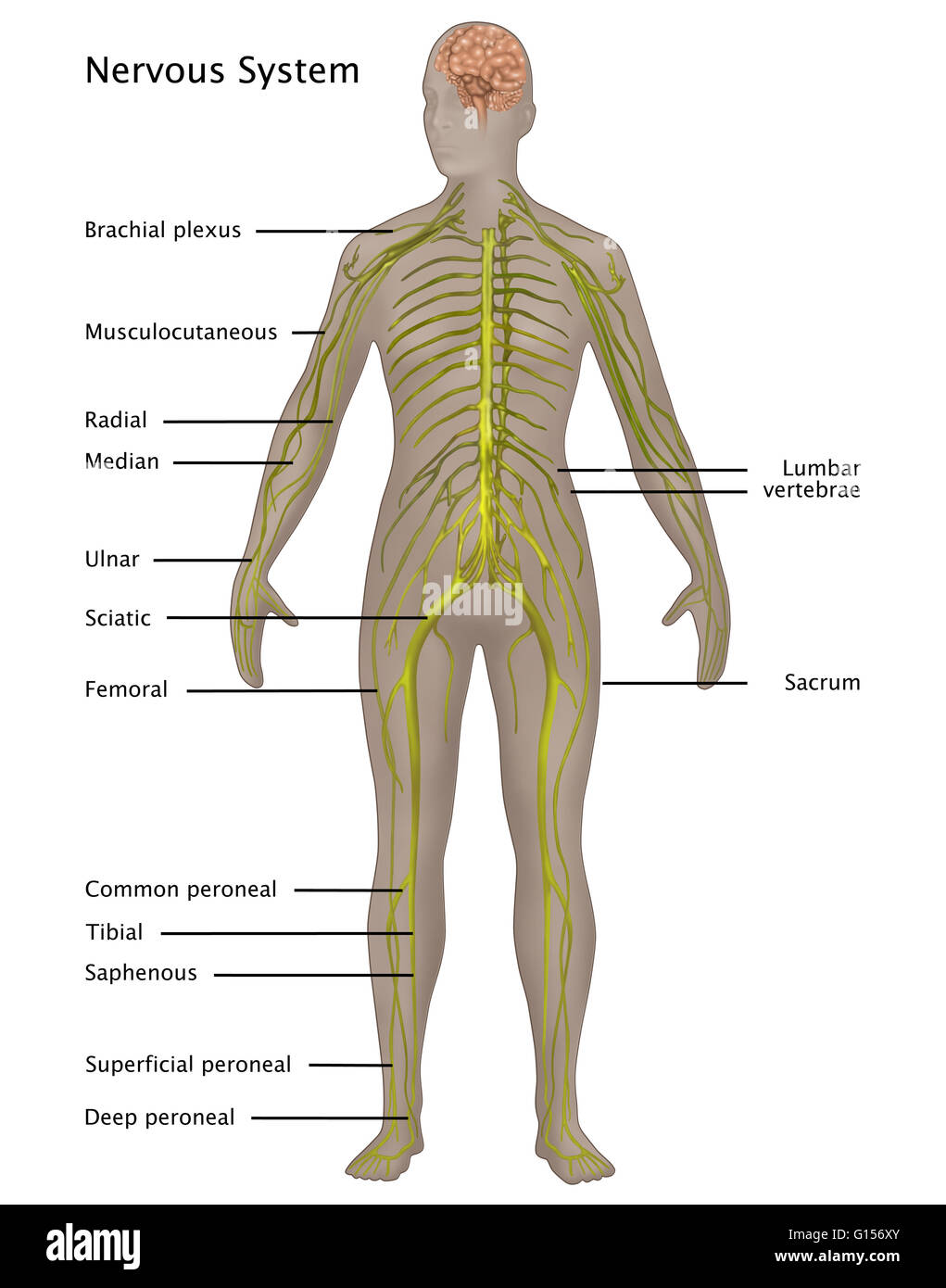 Illustration Of The Nervous System In The Female Anatomy Labeled