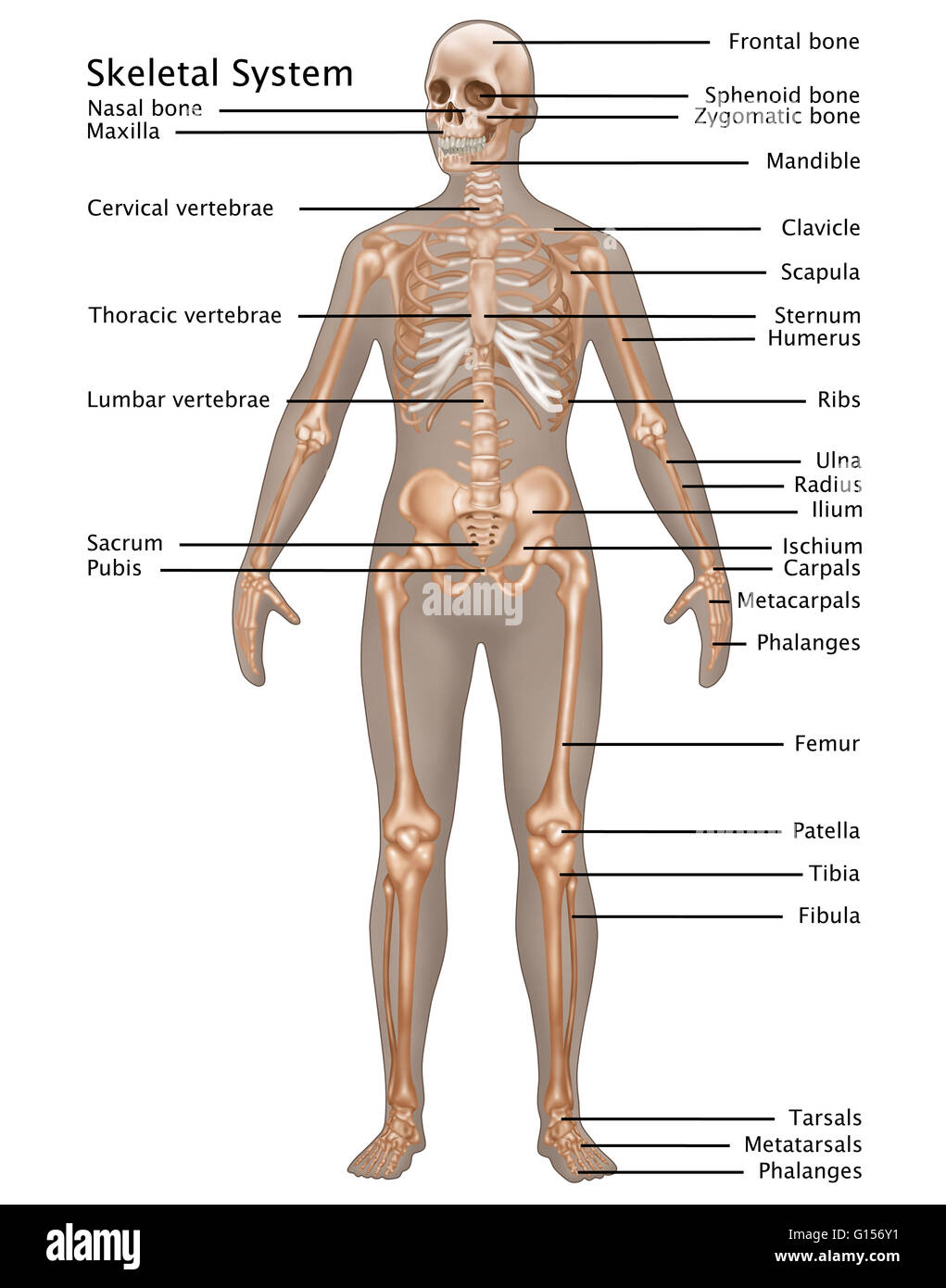 Illustration of the skeletal system in the female anatomy Stock ...