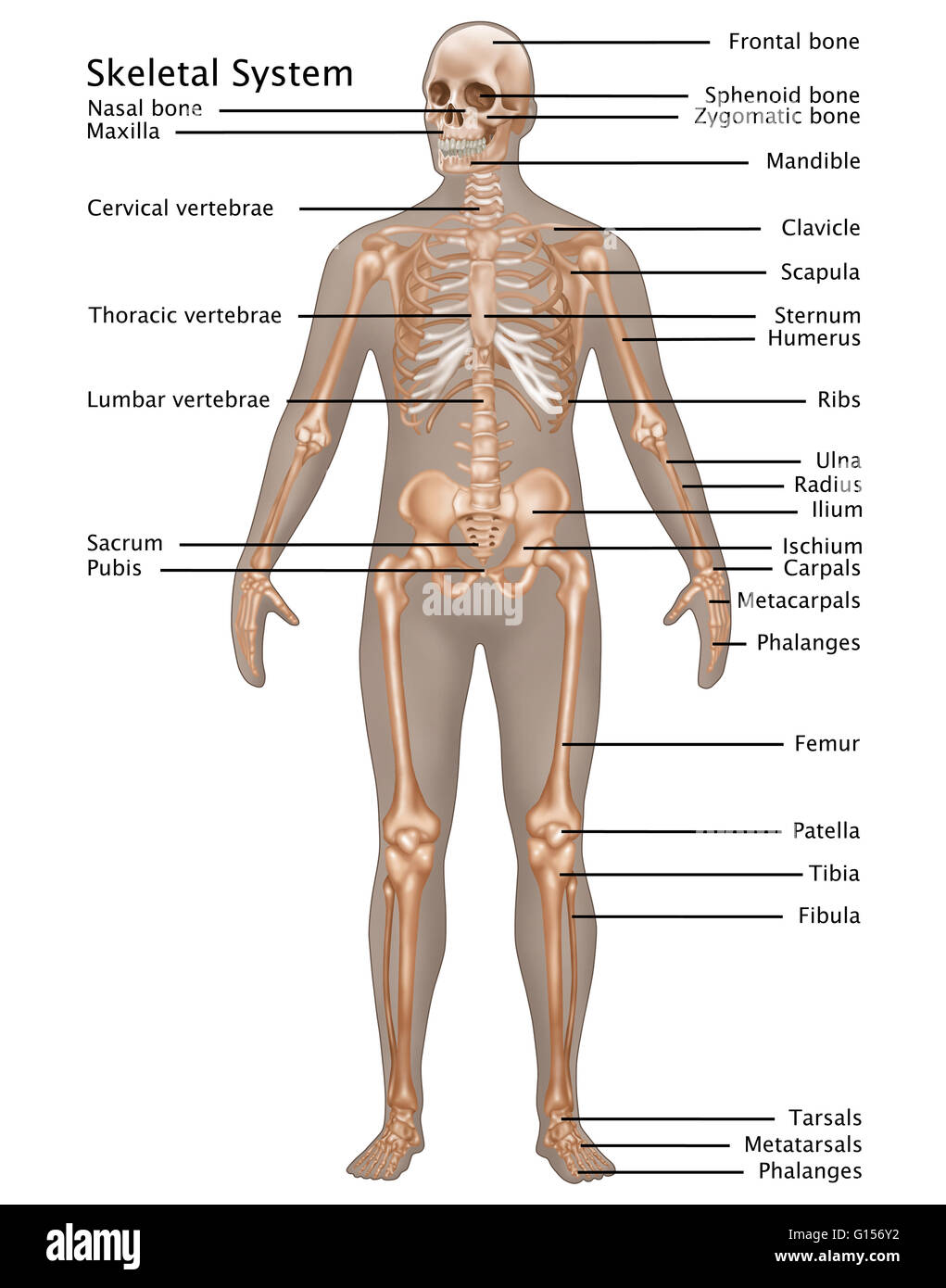 Illustration of the skeletal system in the male anatomy Stock Photo ...