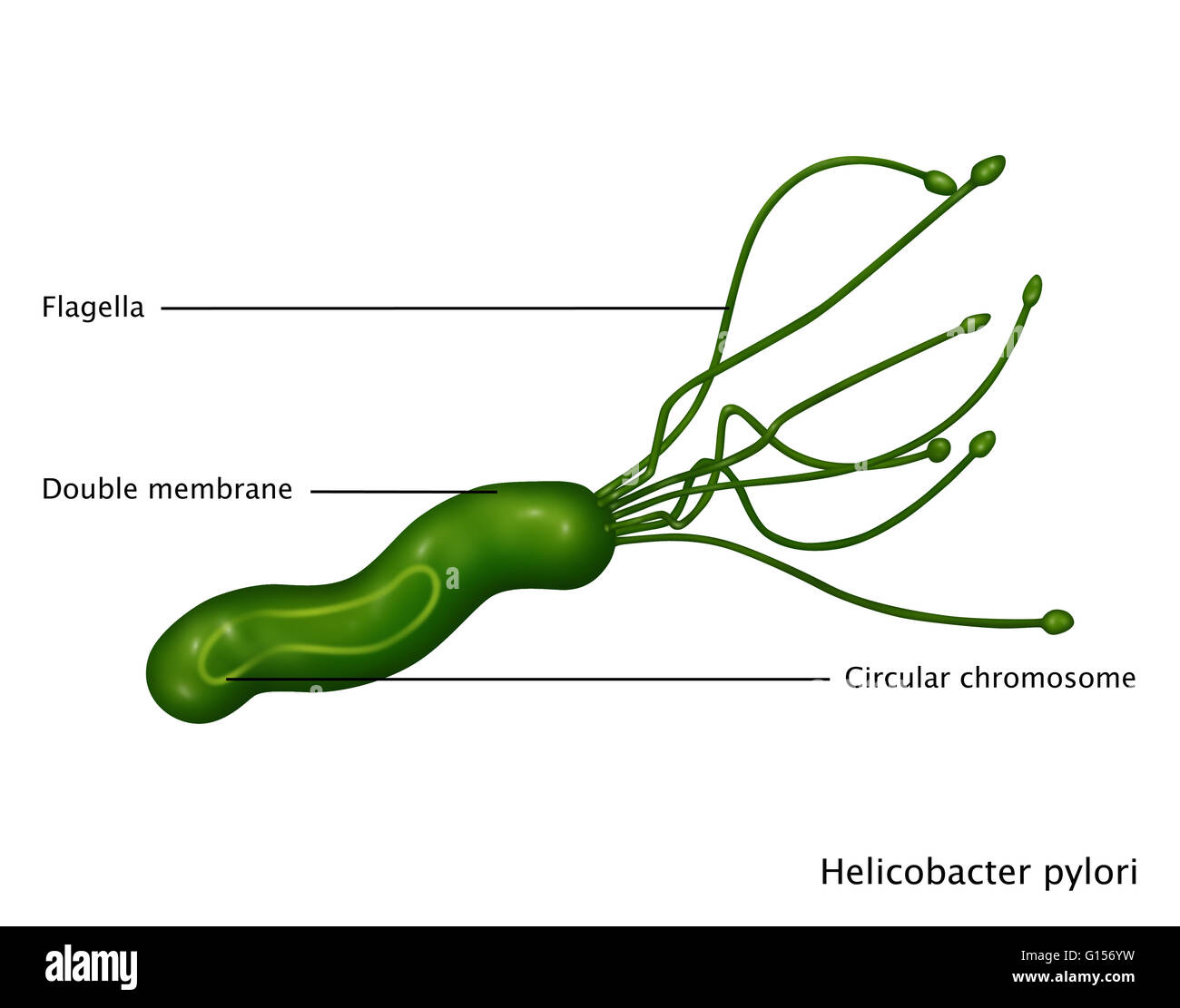 Illustration of Helicobacter pylori bacteria, a gram-negative spiral-shaped  bacterium found in the mucus lining of the stomach. It causes gastritis,  and is ...