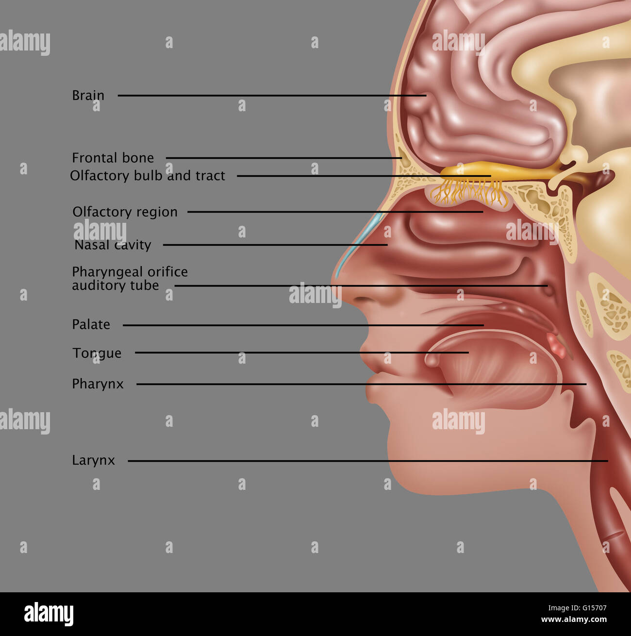 Illustration of the anatomy used in the sense of smell. The ...