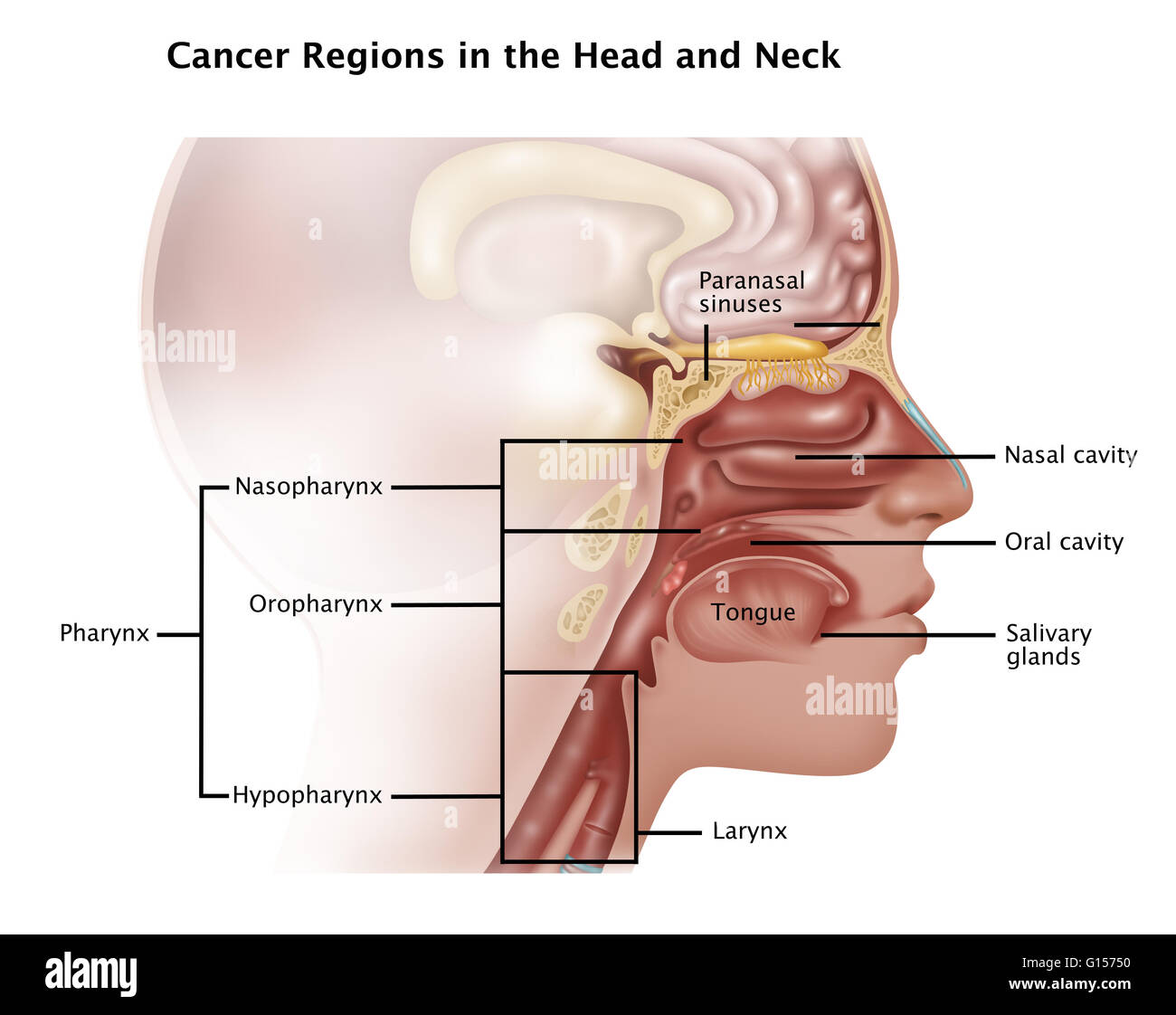 The Paranasal Sinuses Stock Photos The Paranasal Sinuses Stock
