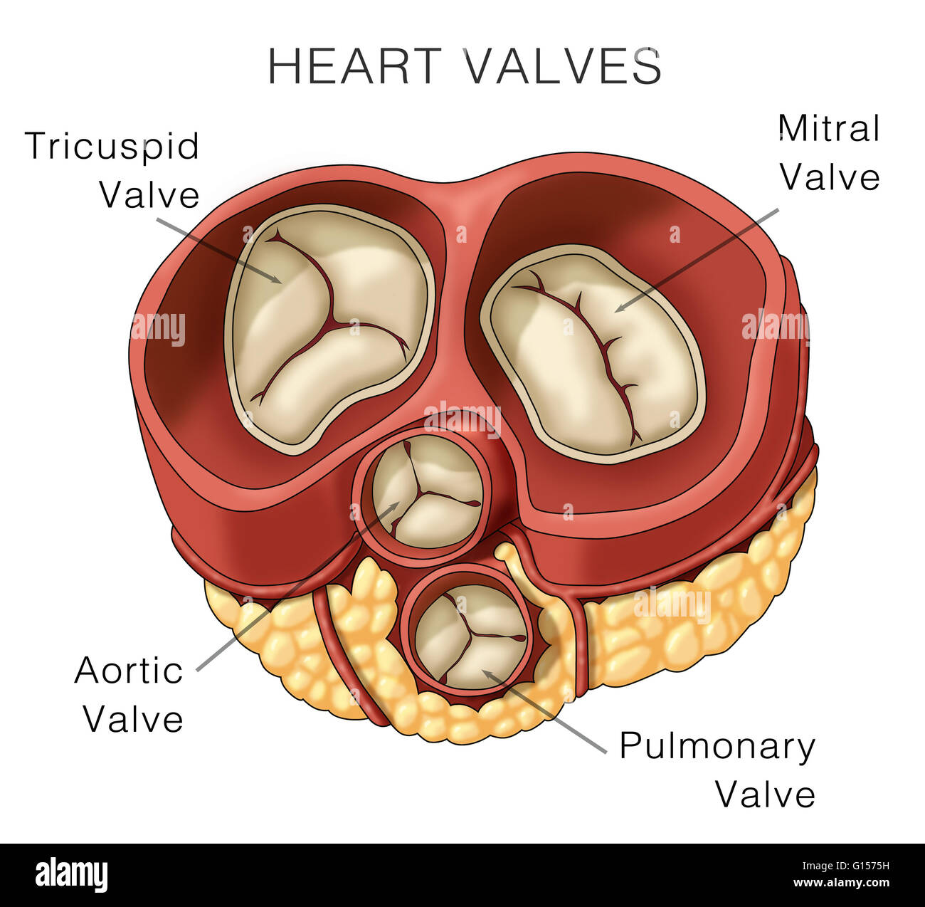 Illustration of heart valves. The image shown includes the mitral ...