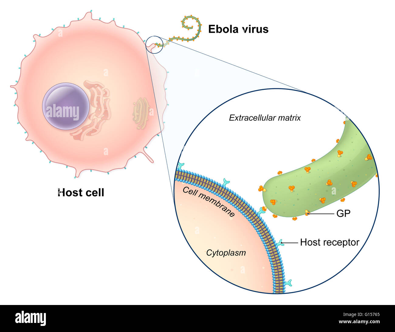 An illustrated diagram of the ebola virus replication process the an illustrated diagram of the ebola virus replication process the ebola virus is a single stranded rna filovirus responsible for severe hemorrhagic fever ccuart Images