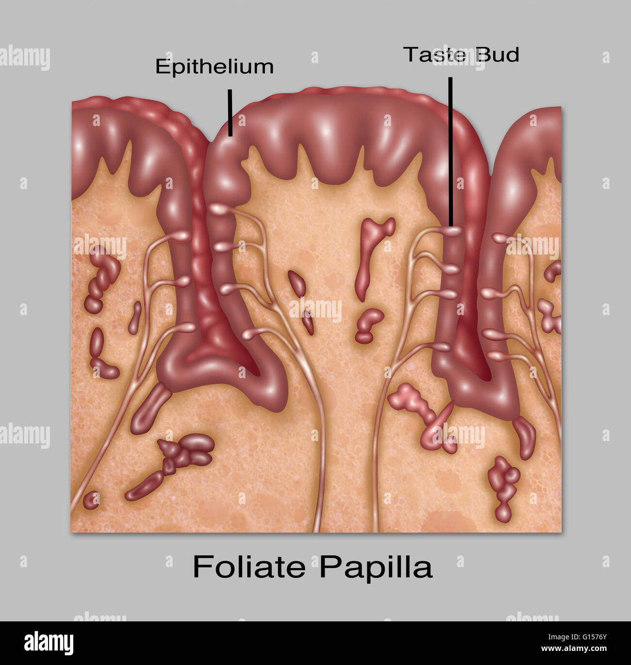 Illustration Of Foliate Papillae One Of The Four Lingual Papillae