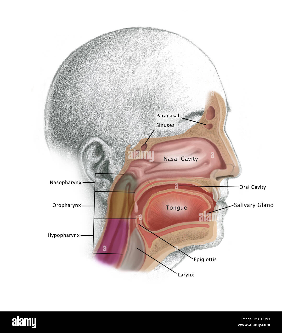 Illustration depicting possible cancer regions of the head and neck ...