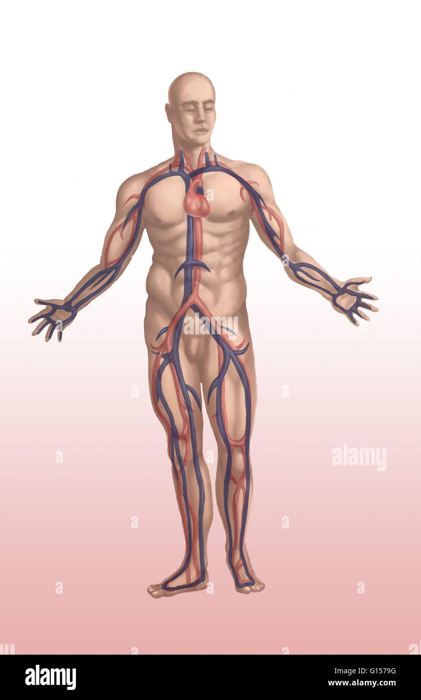 Cardiovascular system, in male anatomy showing the main arteries ...