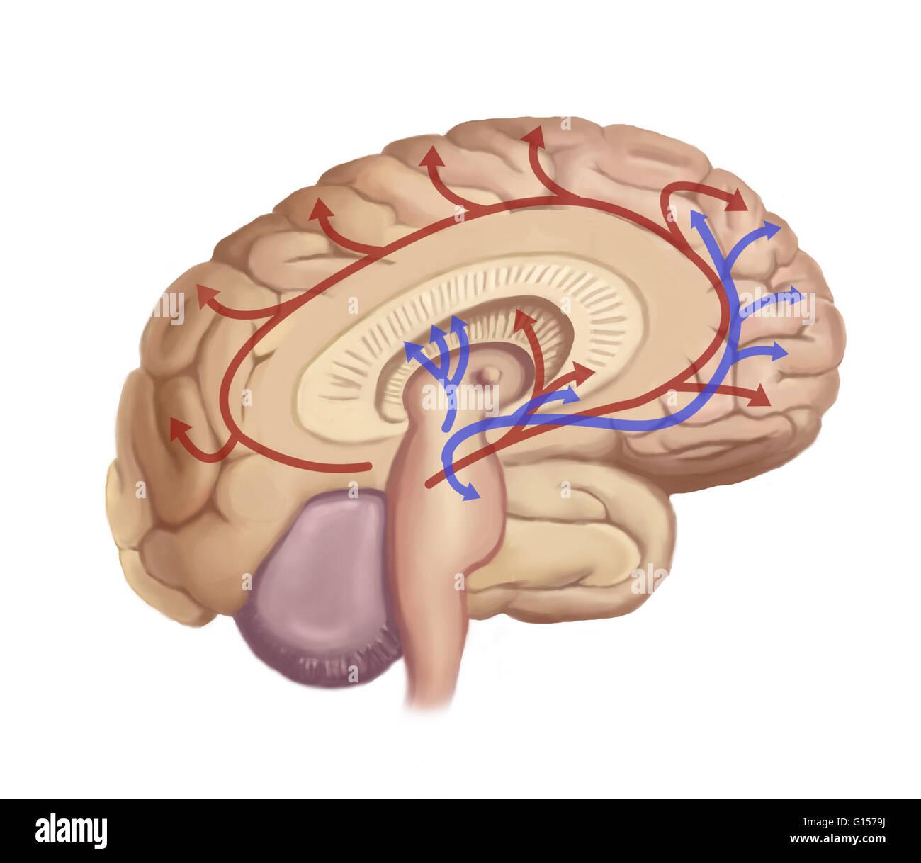 Brain Nerve Pathways Stock Photos Brain Nerve Pathways Stock