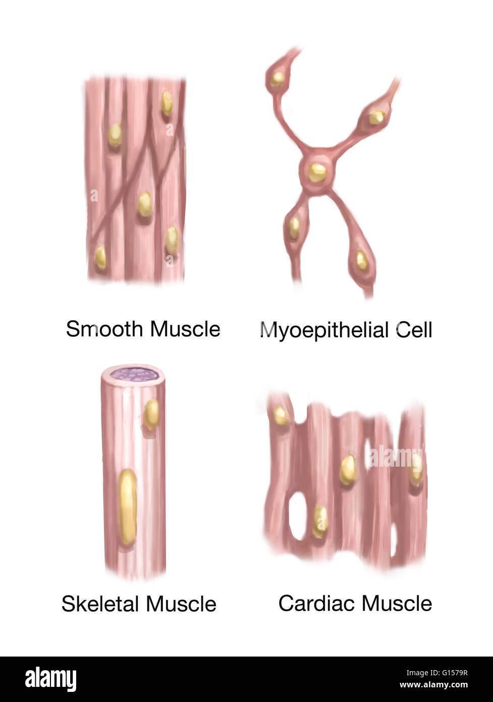 Illustration showing the three types of muscle tissue (smooth Stock ...