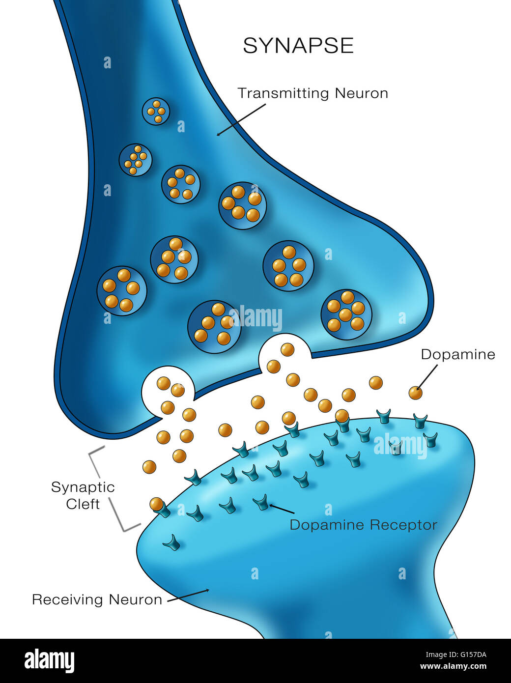 Labeled illustration depicting normal neuron synapse ...