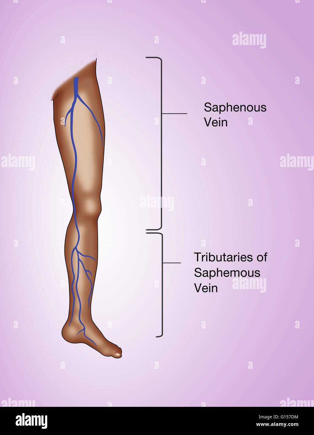 Labeled Illustration Of The Leg Showing The Great Saphenous Vein